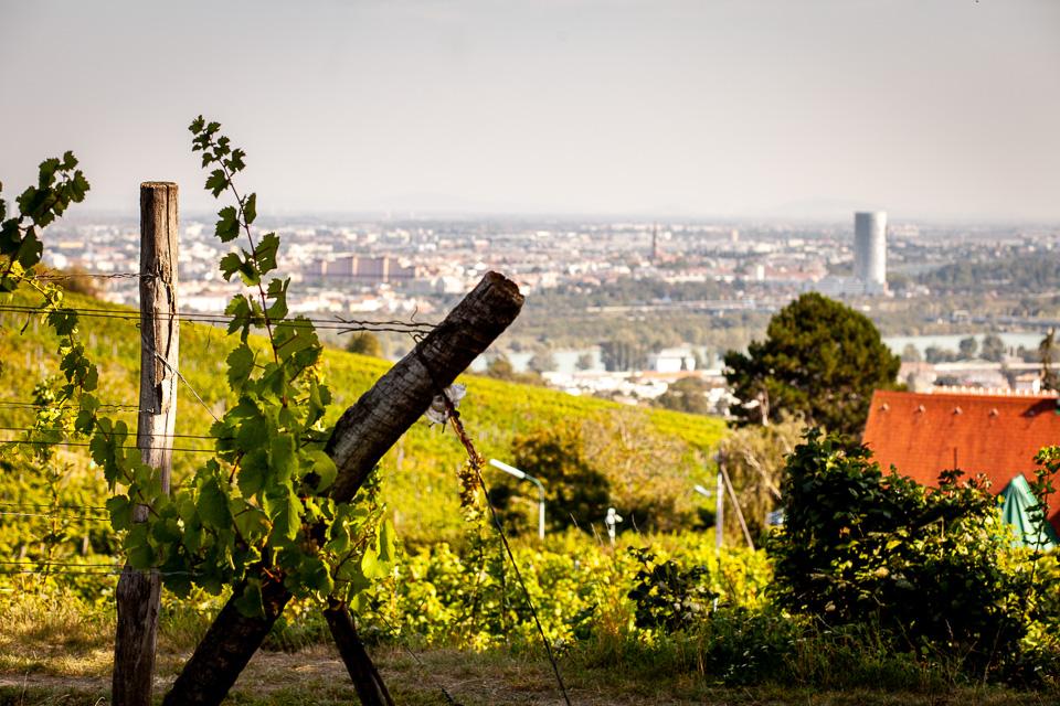 Weinhänge Wien